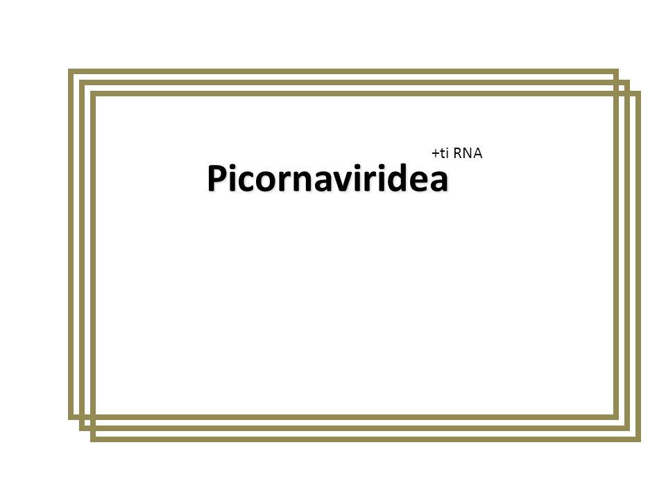 Picornaviridea +ti RNA