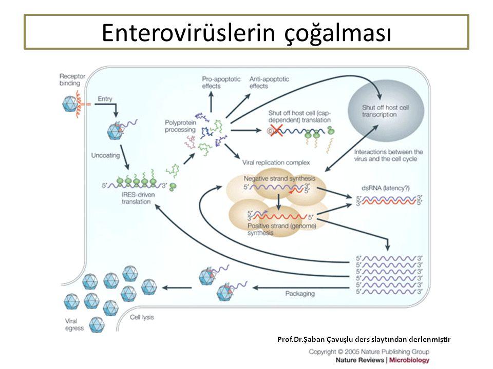 55 Enterovirüslerin çoğalması Prof.Dr.Şaban Çavuşlu ders slaytından derlenmiştir