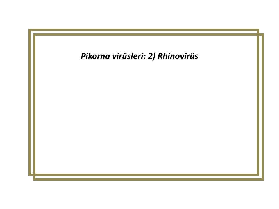 Pikorna virüsleri: 2) Rhinovirüs