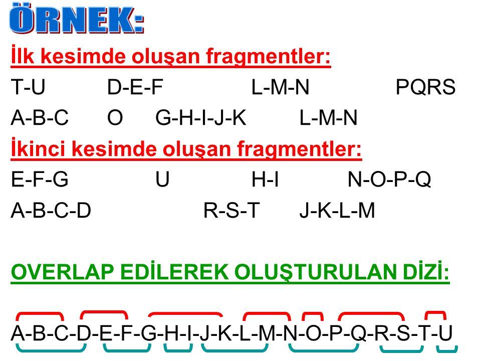 İlk kesimde oluşan fragmentler: T-UD-E-FL-M-NPQRS A-B-COG-H-I-J-KL-M-N İkinci kesimde oluşan fragmentler: E-F-GUH-IN-O-P-Q A-B-C-DR-S-TJ-K-L-M OVERLAP
