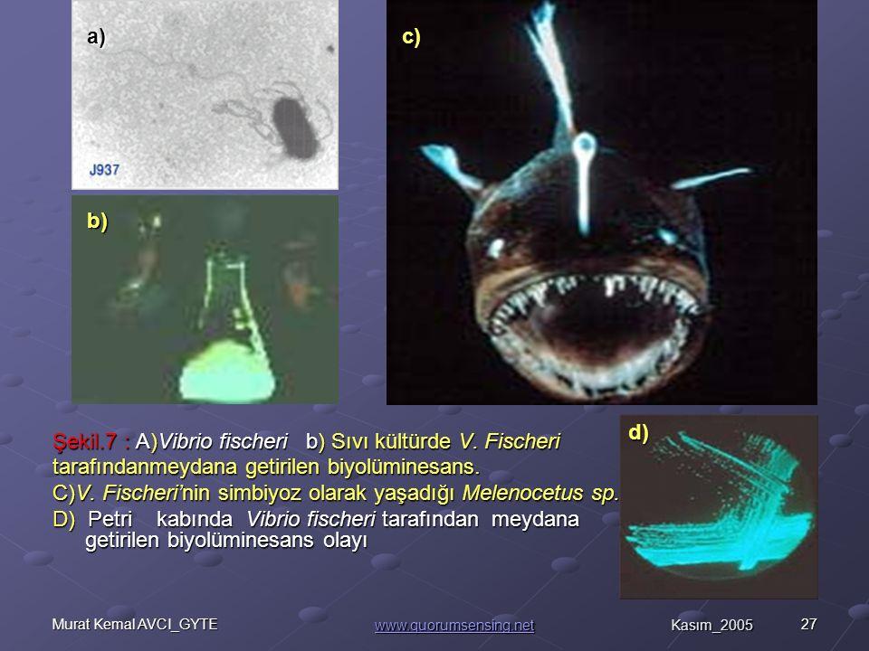 27Murat Kemal AVCI_GYTE Şekil.7 : A)Vibrio fischeri b) Sıvı kültürde V.