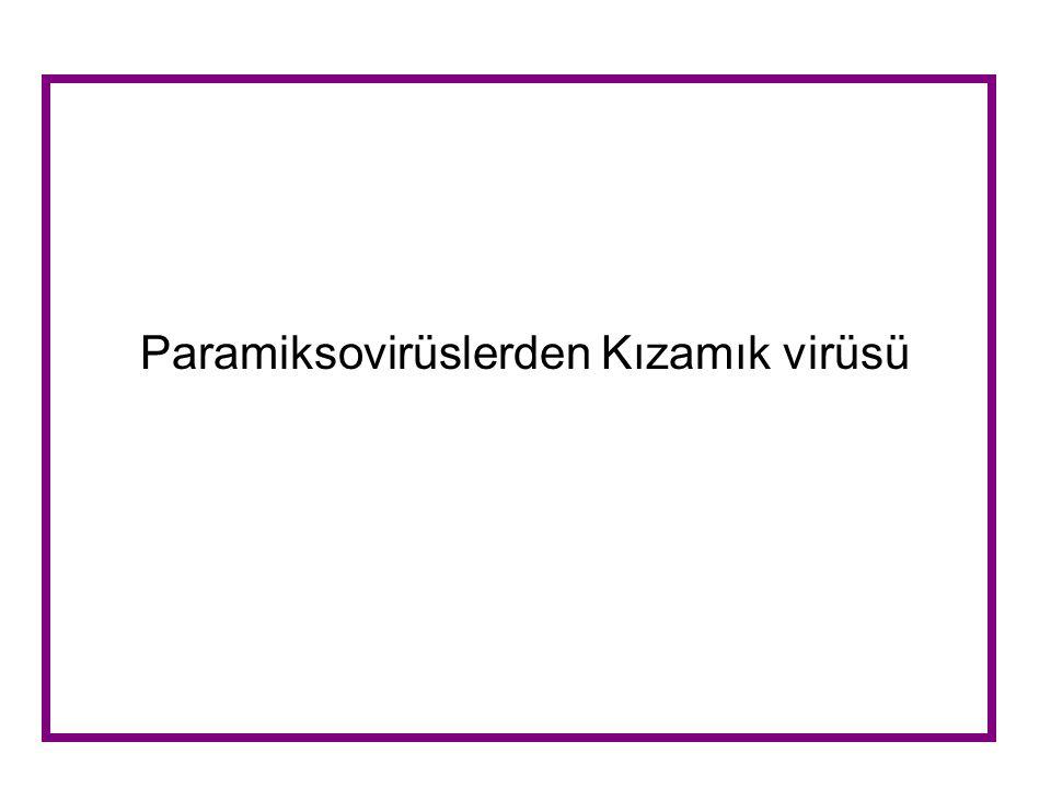 Paramiksovirüslerden Kızamık virüsü