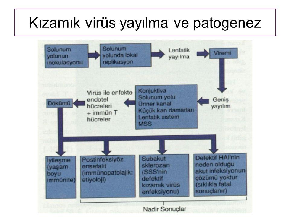 Kızamık virüs yayılma ve patogenez