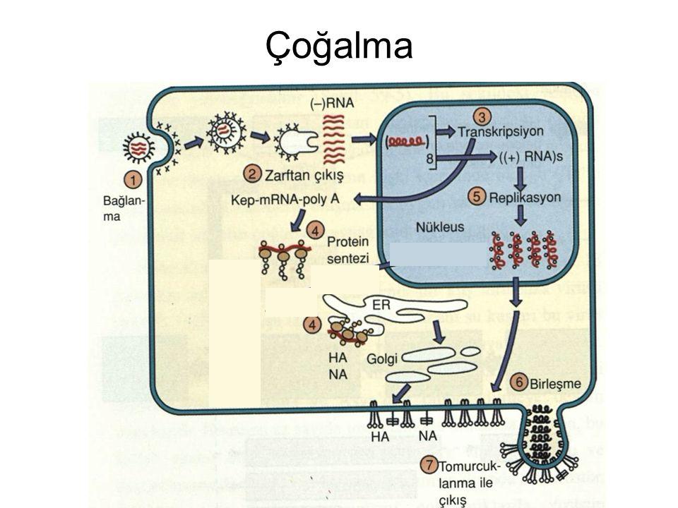 Gribin Drug ile Tedavisi ZANAMIVIR (NA'ya karşı) tip A ve B OSELTAMIVIR (NA'ya karşı) tip A ve B (bazen direnç) RIMANTADINE (M protein yapımına karşı) tip A sadece AMANTADINE (M protein yapımına karşı) type A sedece 2005'ten günümüze influenza A virusleri amantidine ve rimantidine karşı yüksek düzeyde direnç geliştirdiler ve direnç kırılana kadar kullanılmamaktadır