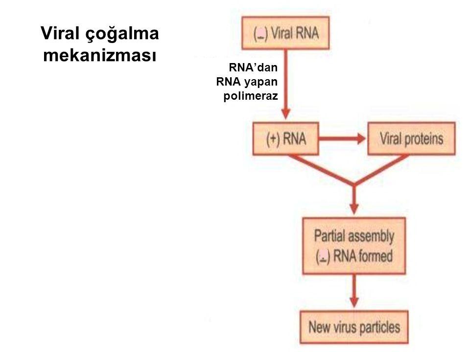 RNA'dan RNA yapan polimeraz Viral çoğalma mekanizması