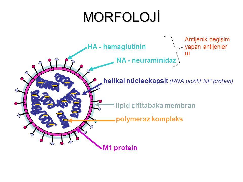 M1 protein helikal nücleokapsit (RNA pozitif NP protein) HA - hemaglutinin polymeraz kompleks lipid çifttabaka membran NA - neuraminidaz Antijenik değişim yapan antijenler !!.