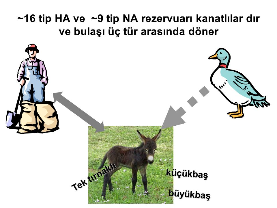 ~16 tip HA ve ~9 tip NA rezervuarı kanatlılar dır ve bulaşı üç tür arasında döner küçükbaş büyükbaş Tek tırnaklı