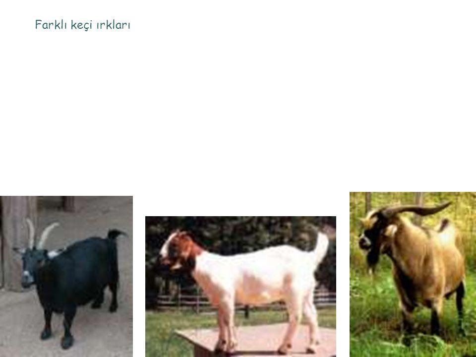 Farklı keçi ırkları
