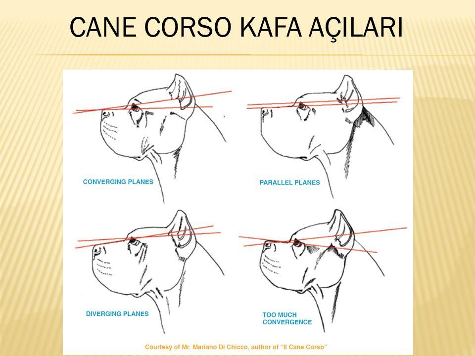 CANE CORSO KAFA AÇILARI