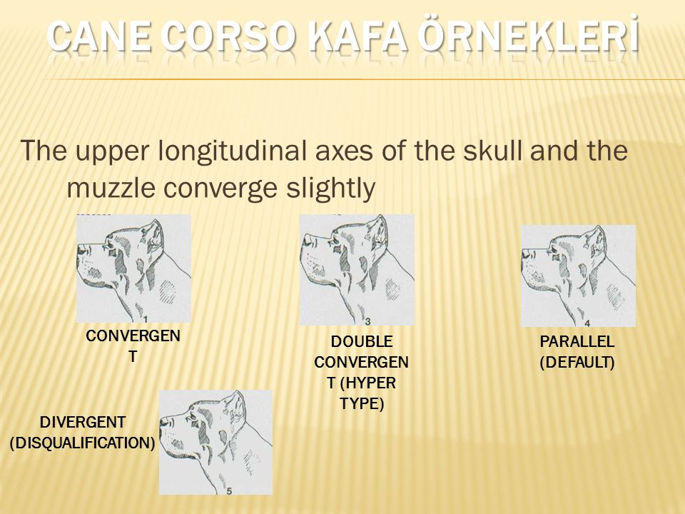 The upper longitudinal axes of the skull and the muzzle converge slightly CONVERGEN T DOUBLE CONVERGEN T (HYPER TYPE) PARALLEL (DEFAULT) DIVERGENT (DI