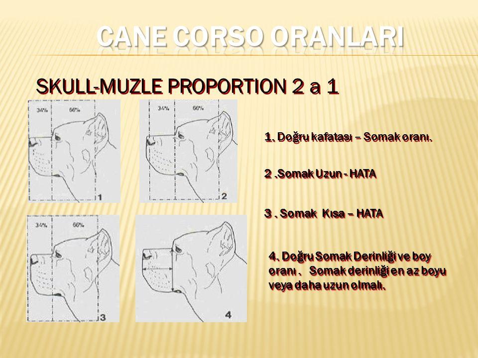 1.1. Doğru kafatası – Somak oranı. 2.Somak Uzun - HATA 3.