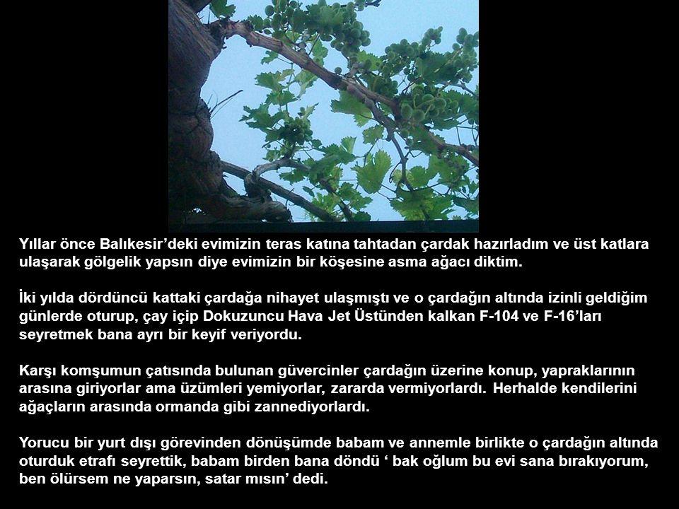 Yıllar önce Balıkesir'deki evimizin teras katına tahtadan çardak hazırladım ve üst katlara ulaşarak gölgelik yapsın diye evimizin bir köşesine asma ağacı diktim.
