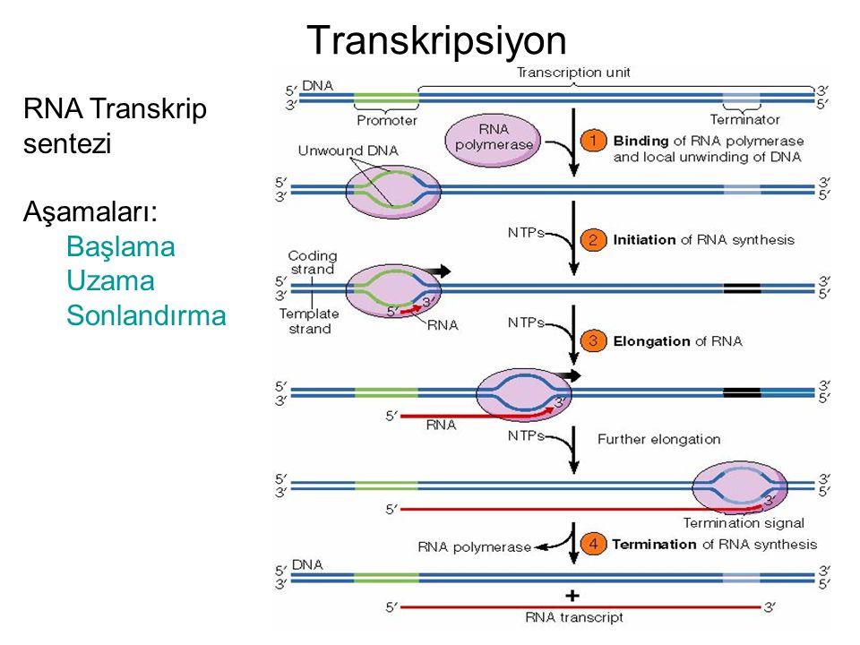 Transkripsiyon RNA Transkrip sentezi Aşamaları: Başlama Uzama Sonlandırma