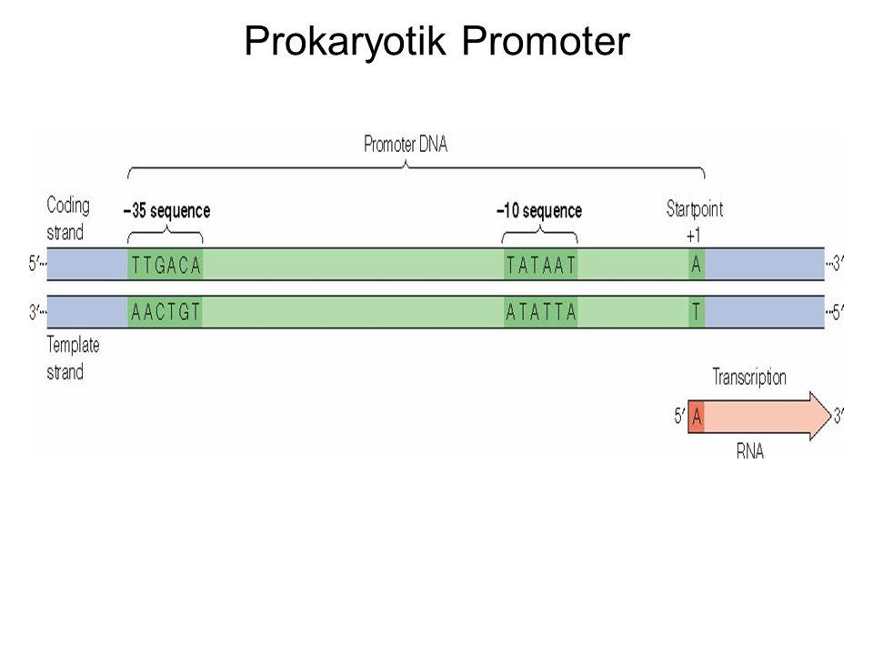 Prokaryotik Promoter