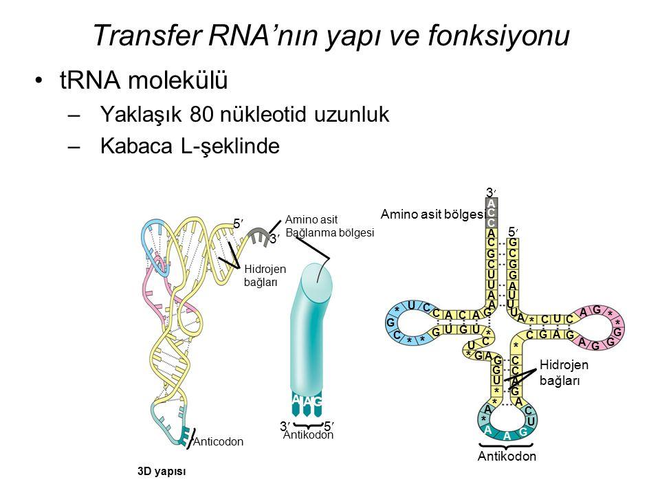 Transfer RNA'nın yapı ve fonksiyonu A C C tRNA molekülü –Yaklaşık 80 nükleotid uzunluk –Kabaca L-şeklinde 3 C C A C G C U U A A G ACA C C U * G C * *