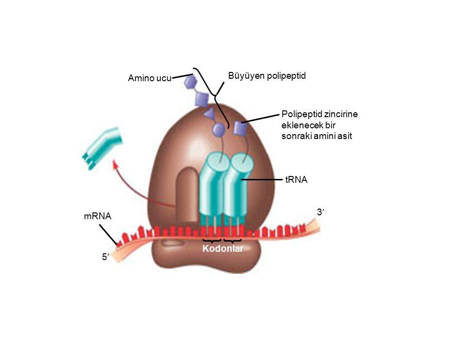 Amino ucu Büyüyen polipeptid Polipeptid zincirine eklenecek bir sonraki amini asit tRNA mRNA Kodonlar 3 5
