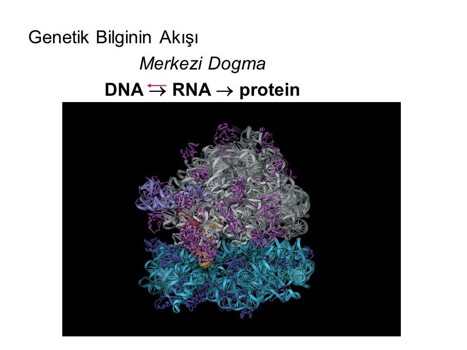 Genetik Bilginin Akışı Merkezi Dogma DNA  RNA  protein