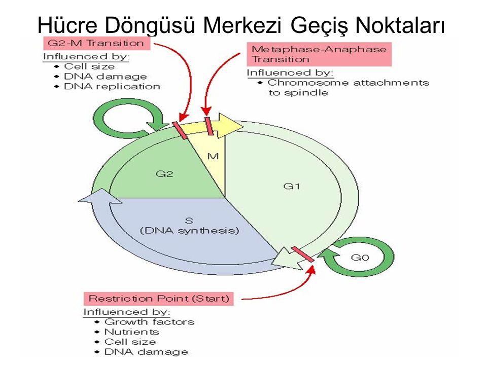 Hücre Döngüsü Merkezi Geçiş Noktaları