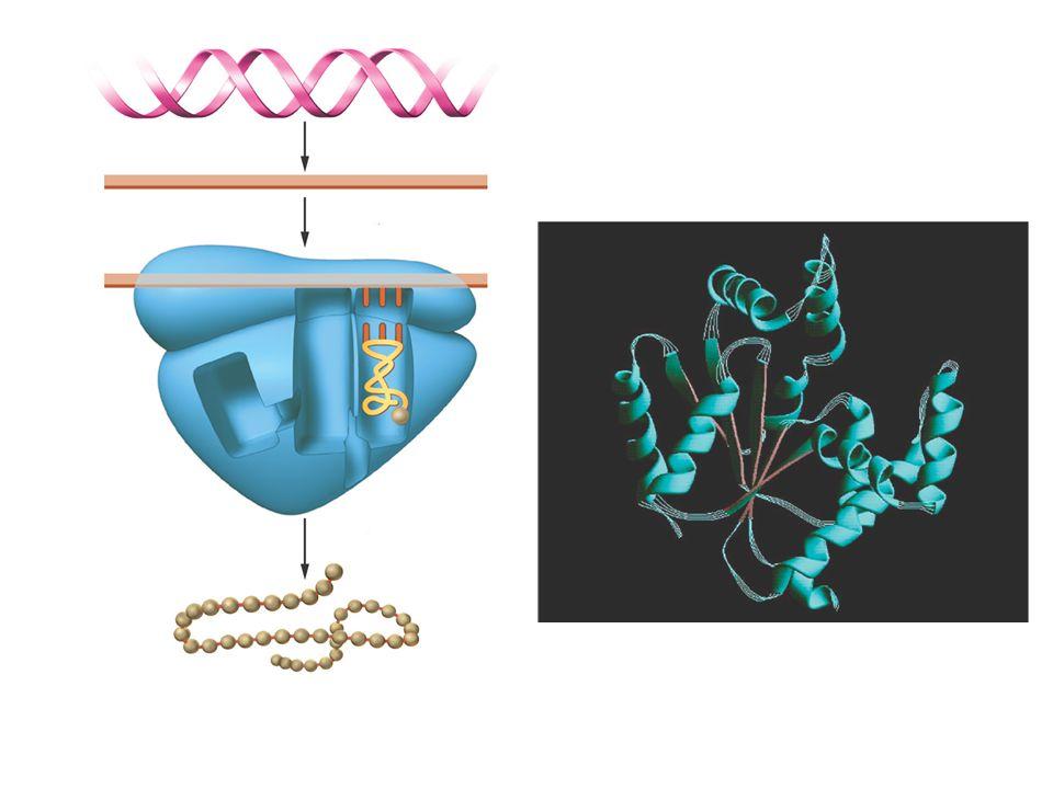 Genetik Kod Genetik bilgi –Baz dizilimlerinin üçlü sıralanmasıyla yani kodonlar tarafından kodlanmıştır.