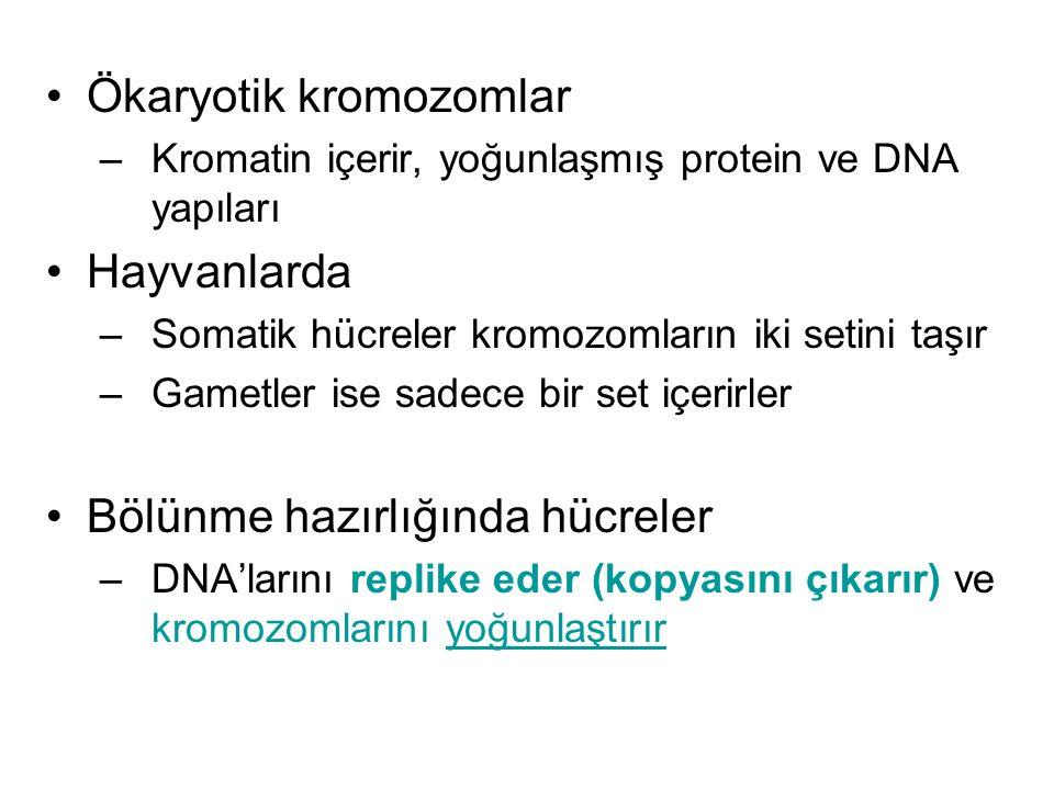 Ökaryotik kromozomlar –Kromatin içerir, yoğunlaşmış protein ve DNA yapıları Hayvanlarda –Somatik hücreler kromozomların iki setini taşır –Gametler ise