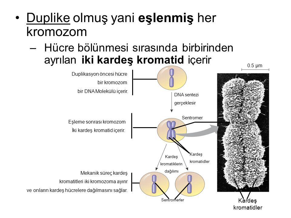 Duplike olmuş yani eşlenmiş her kromozom –Hücre bölünmesi sırasında birbirinden ayrılan iki kardeş kromatid içerir 0.5 µm DNA sentezi gerçeklesir Sent