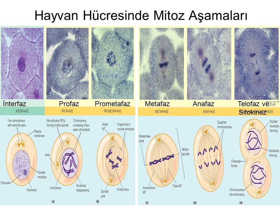 Hayvan Hücresinde Mitoz Aşamaları İnterfazProfaz Prometafaz Metafaz Anafaz Telofaz ve Sitokinez