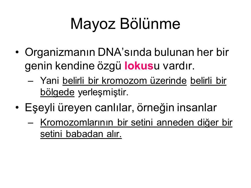 Mayoz Bölünme Organizmanın DNA'sında bulunan her bir genin kendine özgü lokusu vardır. –Yani belirli bir kromozom üzerinde belirli bir bölgede yerleşm
