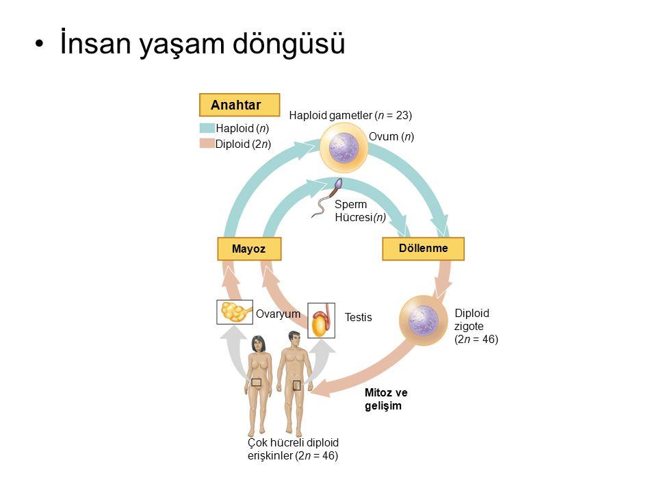 Anahtar Haploid (n) Diploid (2n) Haploid gametler (n = 23) Ovum (n) Sperm Hücresi(n) Mayoz Döllenme Ovaryum Testis Diploid zigote (2n = 46) Mitoz ve g