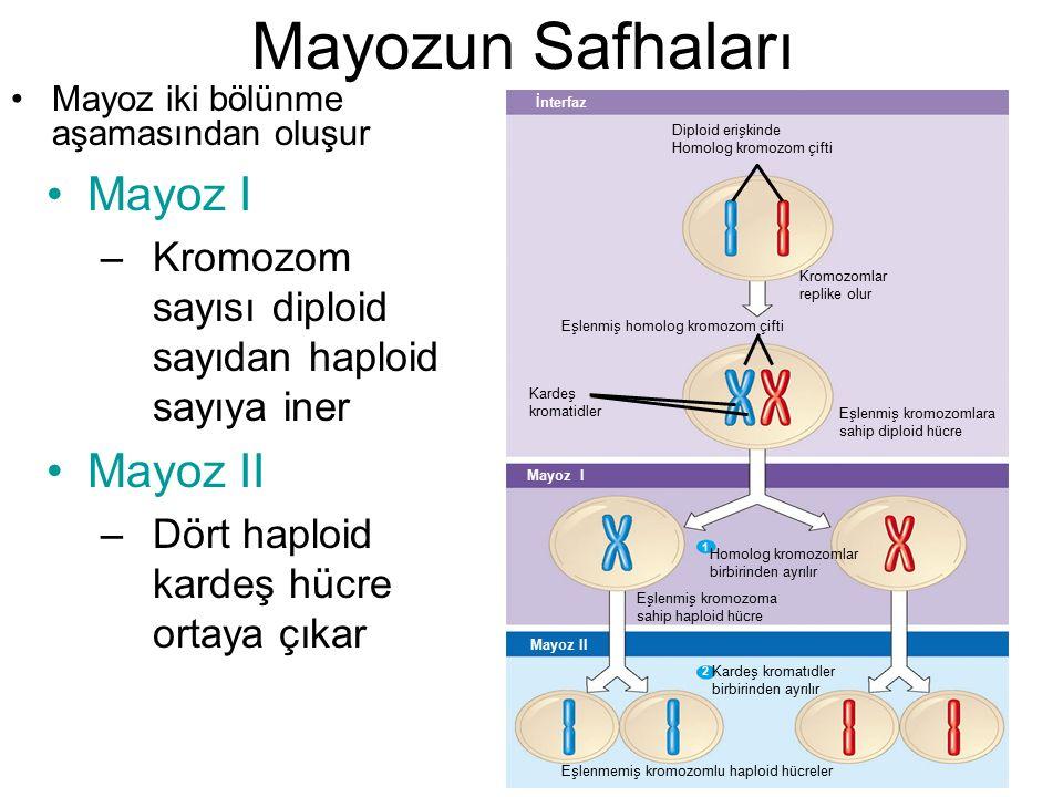 Mayozun Safhaları Mayoz iki bölünme aşamasından oluşur İnterfaz Diploid erişkinde Homolog kromozom çifti Kromozomlar replike olur Eşlenmiş homolog kro