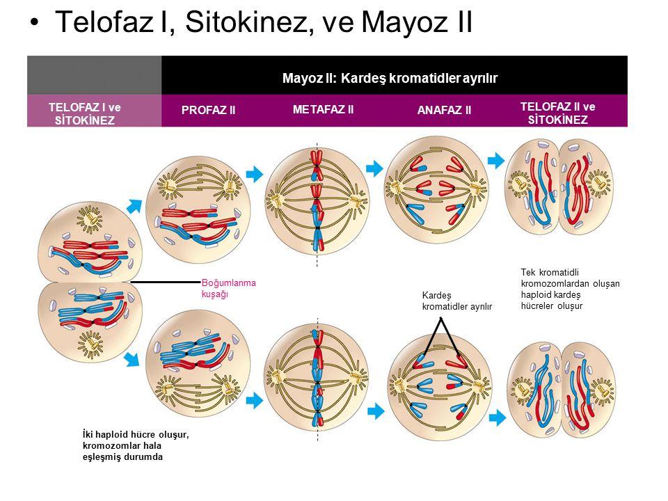 TELOFAZ I ve SİTOKİNEZ PROFAZ II METAFAZ II ANAFAZ II TELOFAZ II ve SİTOKİNEZ Mayoz II: Kardeş kromatidler ayrılır Boğumlanma kuşağı Kardeş kromatidle