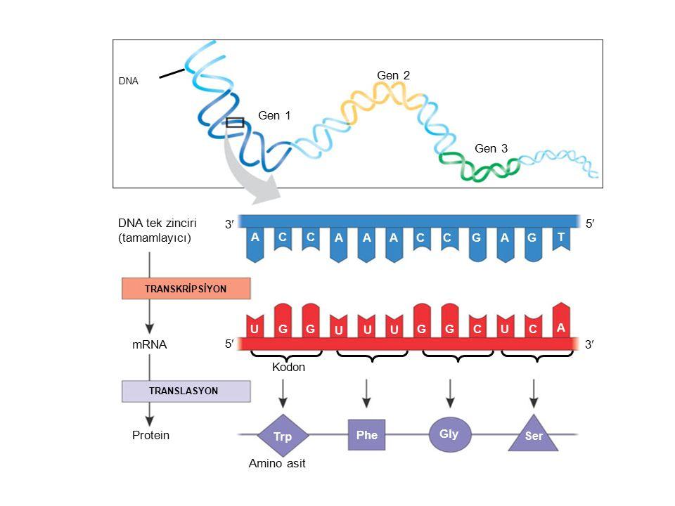 DNA Gen 1 Gen 2 Gen 3 DNA tek zinciri (tamamlayıcı) TRANSKRİPSİYON mRNA Protein TRANSLASYON Amino asit ACC AAACCGAG T UGG U UU G GCUC A Trp Phe Gly Se