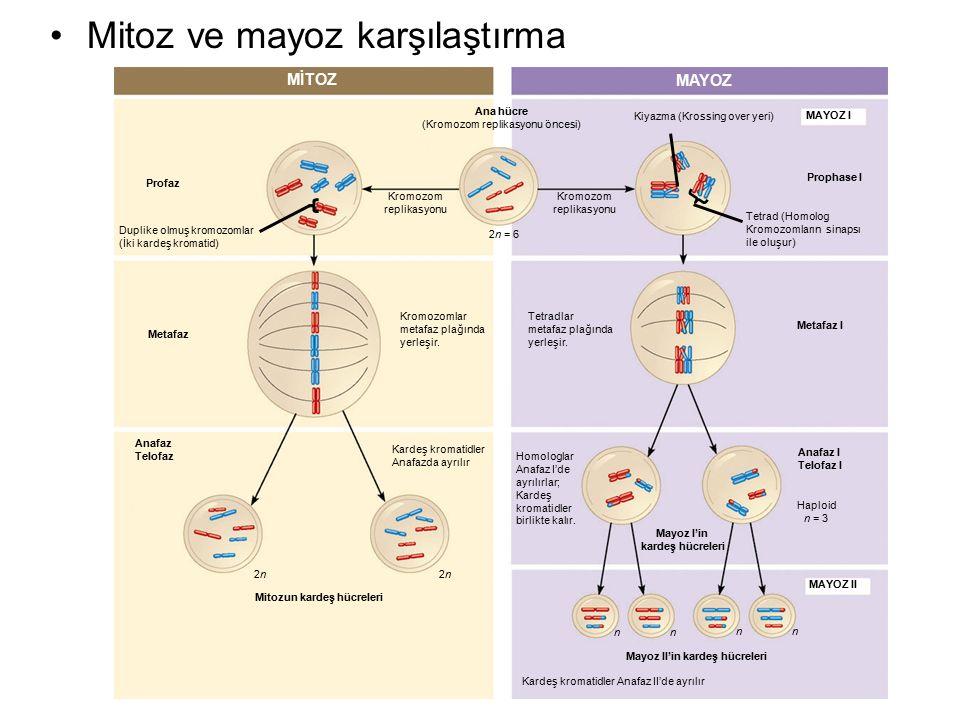 MİTOZ MAYOZ Profaz Duplike olmuş kromozomlar (İki kardeş kromatid) Kromozom replikasyonu Kromozom replikasyonu Ana hücre (Kromozom replikasyonu öncesi