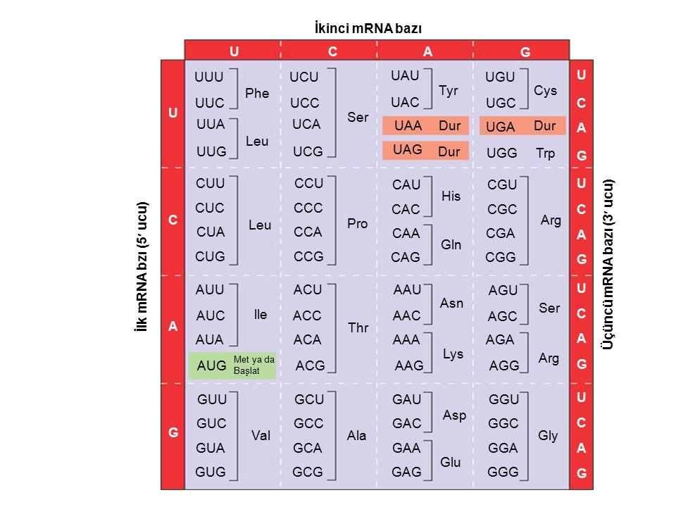 Prokaryotik Ribozomlar Ribozomlar –Protein sentezinde tRNA antikodonlarının mRNA kodonları ile eşleşmelerini sağlar.