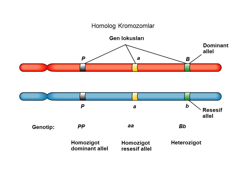 Homolog Kromozomlar Gen lokusları P a b Resesif allel Genotip: P a B Dominant allel PP aa Bb Homozigot dominant allel Homozigot resesif allel Heterozi