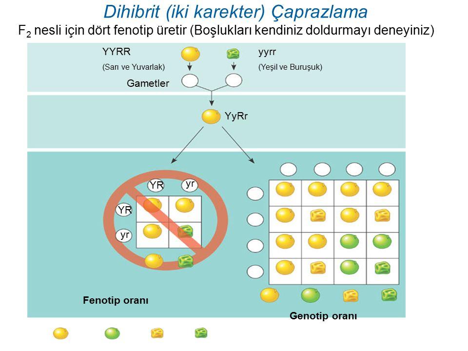 Dihibrit (iki karekter) Çaprazlama F 2 nesli için dört fenotip üretir (Boşlukları kendiniz doldurmayı deneyiniz) Gametler yyrr (Yeşil ve Buruşuk) YYRR