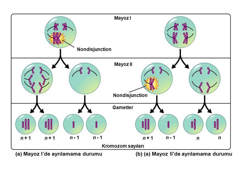 Mayoz I Nondisjunction n + 1 n - 1 n + 1 n - 1 n n Kromozom sayıları Gametler Nondisjunction Mayoz II (a) Mayoz I'de ayrılamama durumu(b) (a) Mayoz II
