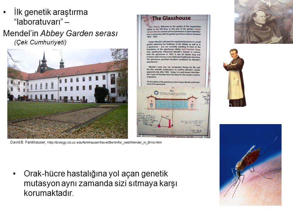 """İlk genetik araştırma """"laboratuvarı"""" – Mendel'in Abbey Garden serası (Çek Cumhuriyeti) Orak-hücre hastalığına yol açan genetik mutasyon aynı zamanda s"""