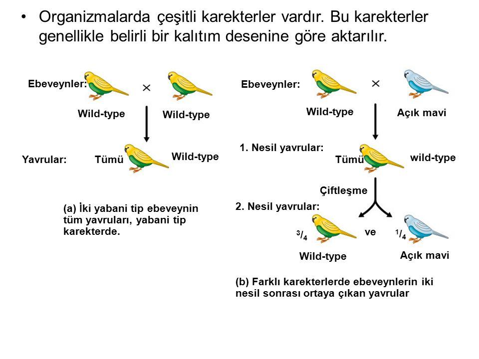 Ebeveynler: Wild-type Ebeveynler: Wild-type Açık mavi Yavrular:Tümü Wild-type 1. Nesil yavrular: Tümü wild-type Çiftleşme 2. Nesil yavrular: 3/43/4 Wi