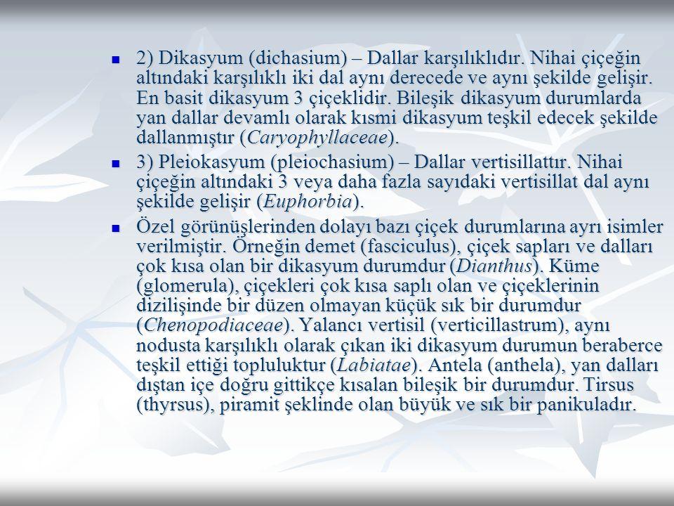 2) Dikasyum (dichasium) – Dallar karşılıklıdır.