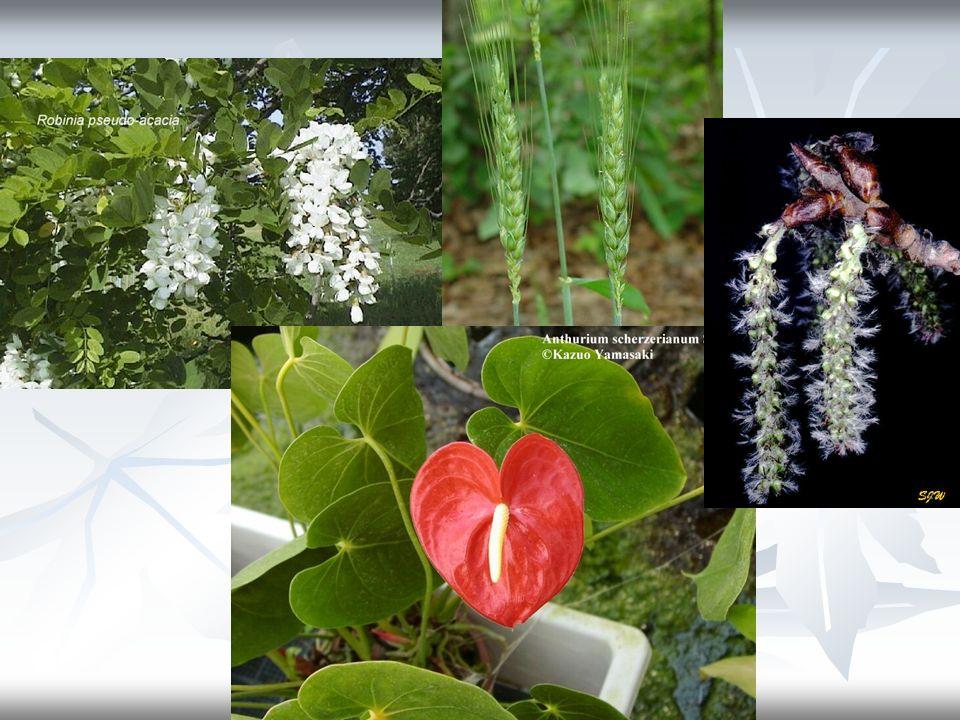 5) Strobilus (strobil, kozalak) – Brakteleri birbirini örten, çiçekleri tek eşeyli ve aynı cinste olan kesif bir spikadır.
