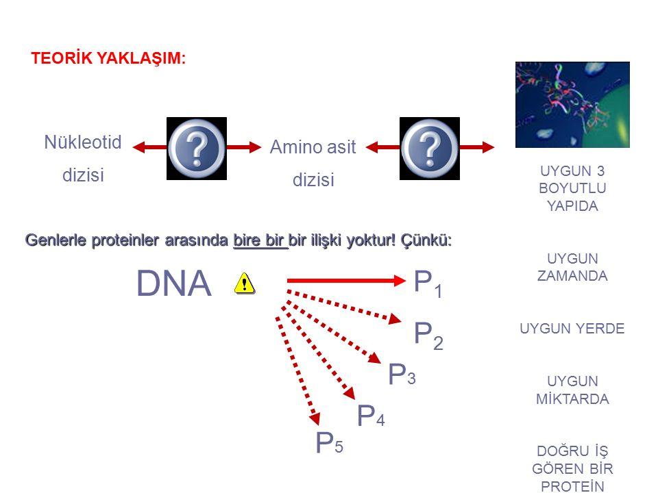 DNA P1P1 P2P2 P3P3 P4P4 P5P5 Nükleotid dizisi Amino asit dizisi TEORİK YAKLAŞIM: UYGUN 3 BOYUTLU YAPIDA UYGUN ZAMANDA UYGUN YERDE UYGUN MİKTARDA DOĞRU