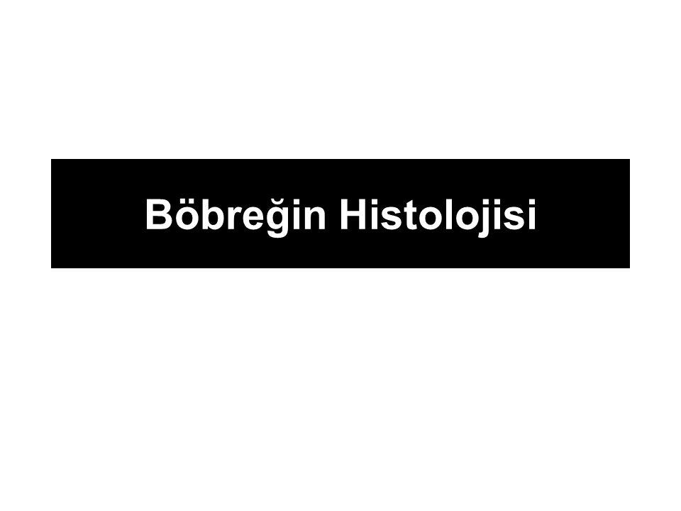 Böbreğin Histolojisi