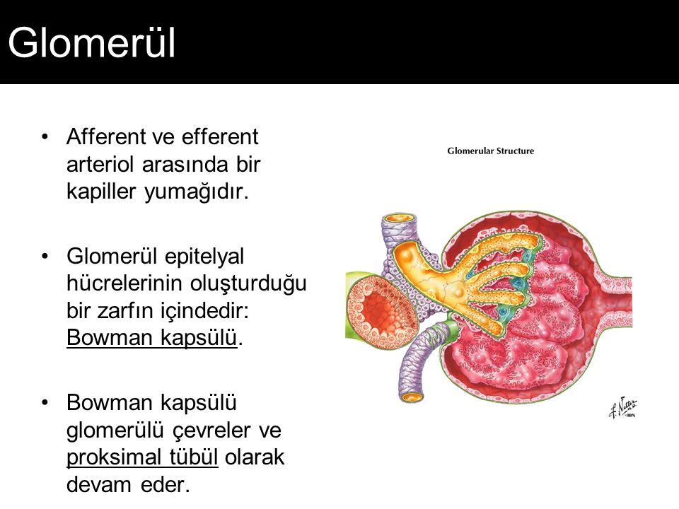 Glomerül Afferent ve efferent arteriol arasında bir kapiller yumağıdır. Glomerül epitelyal hücrelerinin oluşturduğu bir zarfın içindedir: Bowman kapsü
