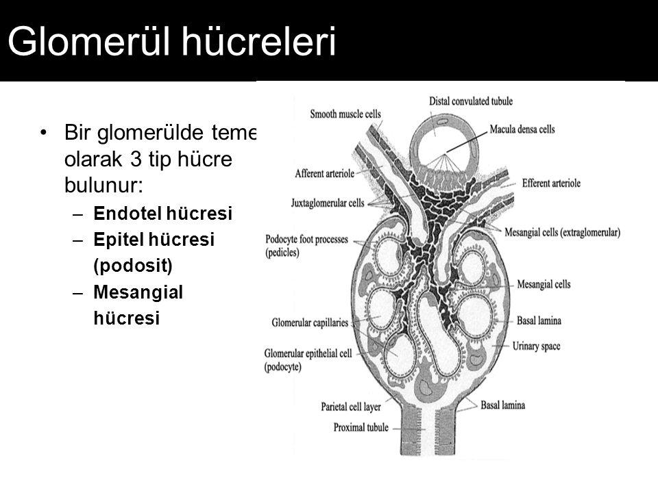 Glomerül hücreleri Bir glomerülde temel olarak 3 tip hücre bulunur: –Endotel hücresi –Epitel hücresi (podosit) –Mesangial hücresi