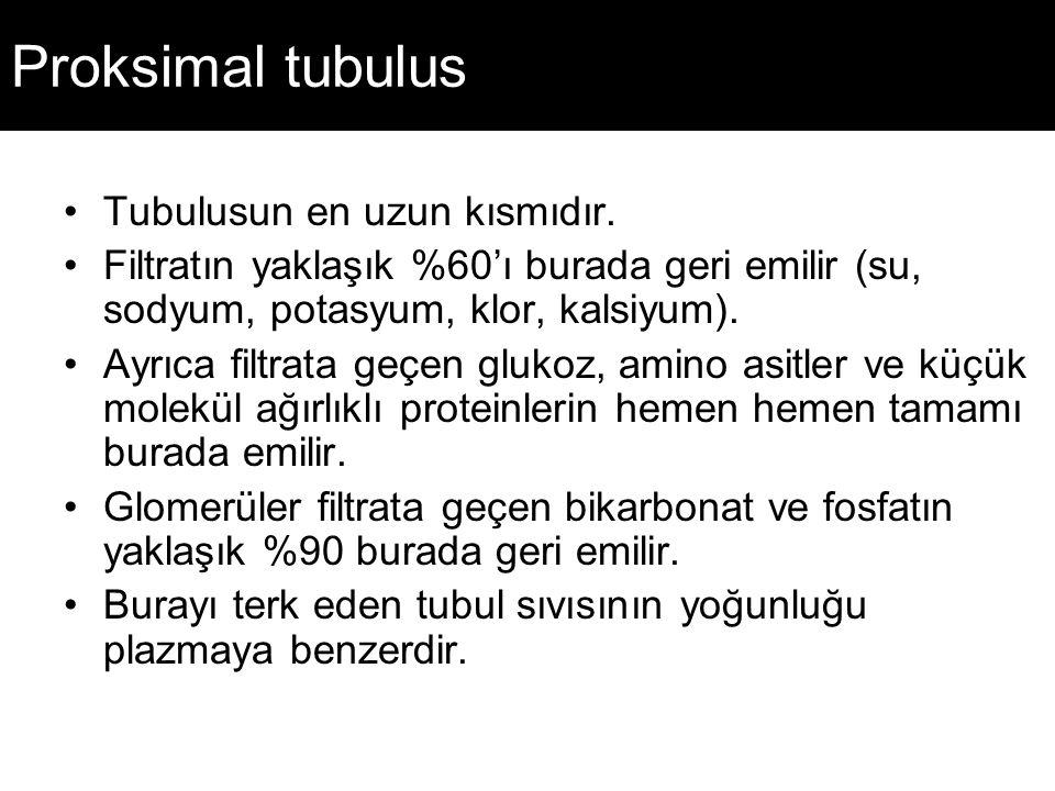 Proksimal tubulus Tubulusun en uzun kısmıdır. Filtratın yaklaşık %60'ı burada geri emilir (su, sodyum, potasyum, klor, kalsiyum). Ayrıca filtrata geçe