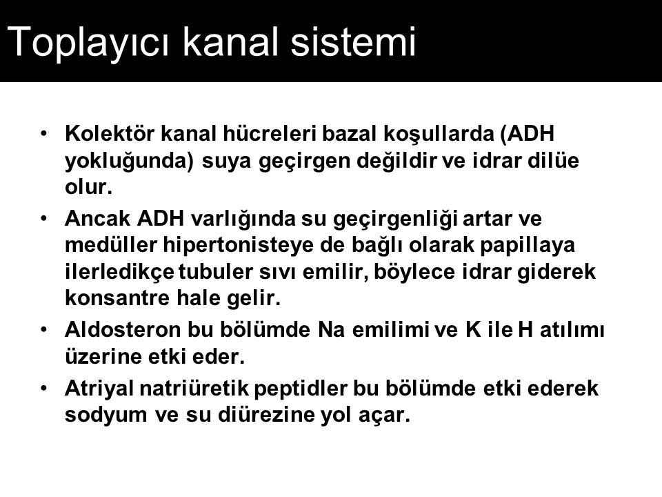 Toplayıcı kanal sistemi Kolektör kanal hücreleri bazal koşullarda (ADH yokluğunda) suya geçirgen değildir ve idrar dilüe olur. Ancak ADH varlığında su
