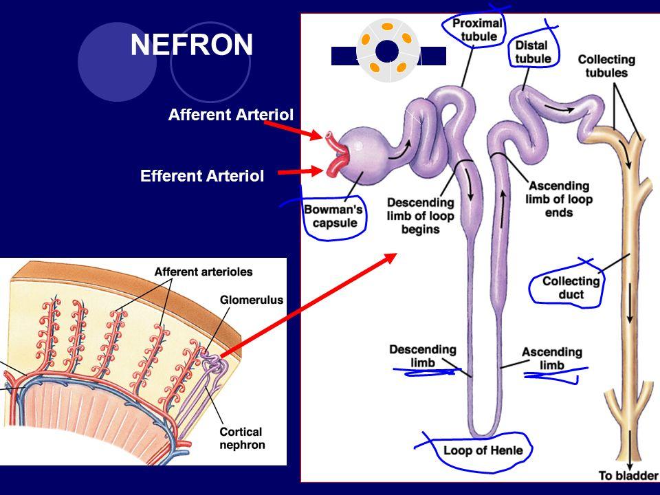 NEFRON Afferent Arteriol Efferent Arteriol