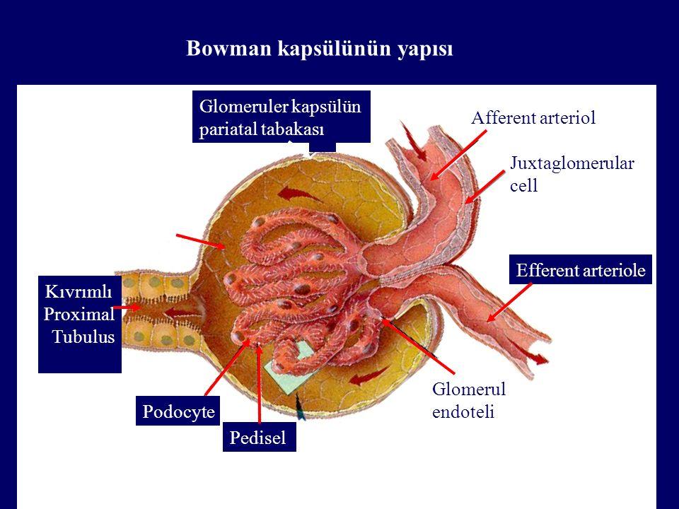 Kıvrımlı Proximal Tubulus Capsule space Efferent arteriole Pedisel Podocyte Glomerul endoteli Afferent arteriol Juxtaglomerular cell Glomeruler kapsülün pariatal tabakası Bowman kapsülünün yapısı
