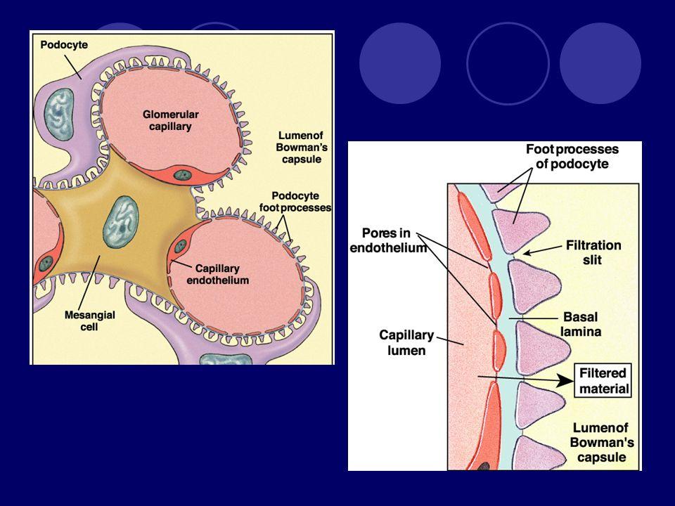 Filtrasyon bariyeri - Podosit Delinmiş endotel fenestrated endothelium primary process podocyte cell body secondary process (pedicel) filtration slit basal lamina podocyte pedicel filtration slit basal lamina