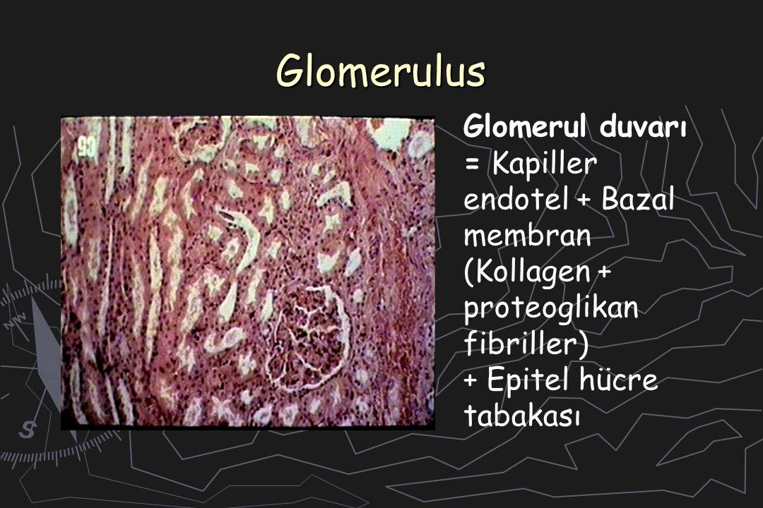 Glomerulus Glomerul duvarı = Kapiller endotel + Bazal membran (Kollagen + proteoglikan fibriller) + Epitel hücre tabakası